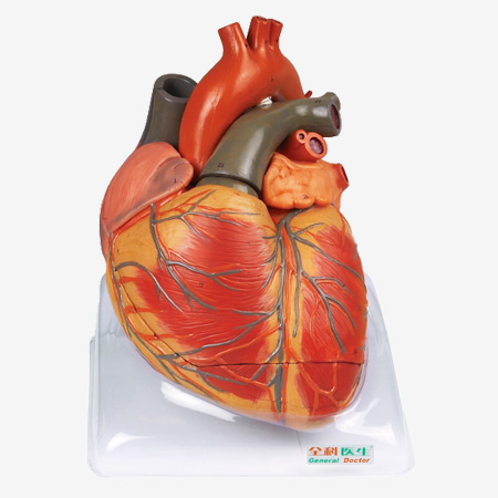 an overview of the heart the engine of human life The heart and circulatory system (also called the cardiovascular system) make up the network that delivers blood to the body's tissues with each heartbeat, blood is sent throughout our bodies, carrying oxygen and nutrients to all of our cells.